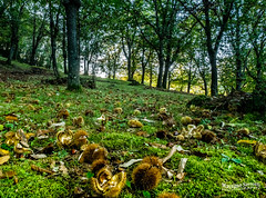 Chestnuts in the underwoods (Massimo Saviotti) Tags: flickr awesome camera dmcg6 emiliaromagna europa europe italia italy location lumix lumixgvario14140 mft microfourthird mirrorless panasonic alberi albero autumn autunno beautiful bello best bestphoto bestshot bosco campagna cima collina colline countryside evening fantastic fantastico fineart forest foresta good great hdr hill hills magnifico massiccio mons montagna montagne monte mountain mountains natura nature pianta piante plant plants sera tree trees wood woods