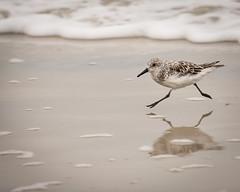 Sandpiper (esfishdoc) Tags: sandpiper assateague beach water ocean bird sand canon 5dmkiii 100400l telephoto esva reflection gesture