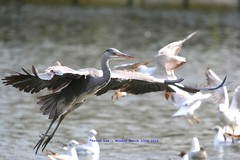 We Have Lift Off........... (law_keven) Tags: heron birds parks regentspark avian flight water london uk england ardeacinerea parklife
