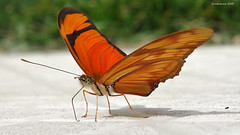 Butterfly on the floor (Guilherme GMP) Tags: butterfly floor
