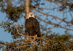 Bald Eagle (hyu767) Tags: 0429201715 eagle baldeagle