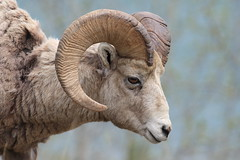 EOS02158 View large. Big Horn Mountain Sheep. Banff National Park, Alberta Canada (E.W. Smit Wildlife) Tags: 1dmarkiii canon1dmarkiii canoneos1dmarkiii wildrosecountry wildanimals rockymountains rockies tourist tourists travelalberta telephotolens outdoor outdoors mountains park parks parkscanada alberta albertacanada animal albertarockies animals gitzo gm2341monopod gm2341 gitzogm2341 canon canada banffnationalpark banff banffalbertacanada nature nationalpark gitzogm2341monopod wildlife ef300mmf28lusm supertelephotolens canonef300mmf28lusm canonef300mmf28l ef300mmf28l banffcanada banffalberta banffandarea twojacklake mountainsheep lakeminnewanka canadianrockies canadianrockymountains sheep bighornmountainsheep bighornsheep rockymountainbighornsheep