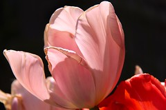 Tulip (tulipa, tulp) (ToJoLa) Tags: colours kleuren bloemen dieren tulp eend kasteeltuin park garden