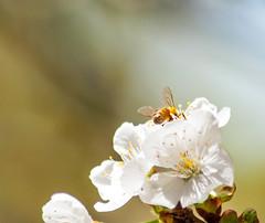 _DSC7531 (KateSi) Tags: cherryblossoms blossoms flowers fleurs blomster cherrytree spring vår primavera printemps white blanche blanco hvitt bees honeybee honeybees abeja abeille bie abejas biers abeilles nikon nikond90 depthoffield nature naturaleza natur