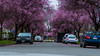 DSC_0036 (Adrian De Lisle) Tags: blossom blossoms britishcolumbia canada east15thave flowers plumblossoms plumtrees slocanst spring vancouver ca
