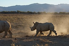 Wait for Me (armct) Tags: rhinoceros rhino young gallop run drought dust southafrica africa wild sunset silhouette inverdoorn game reserve capetown animal baby backlit