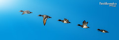 Greater Scaup - Escape! (Pat Kavanagh) Tags: greaterscaup scaup alberta canada taber flight sequence inflight duck