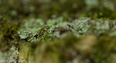 The Edge of Green (maureen.elliott) Tags: lichen moss growing macro closeup green hiking brucetrail woodland forest shallowdepthoffield 7dwf