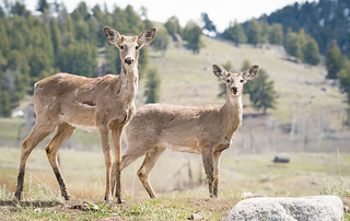 white tailed deer1-5494