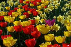 Tulips and Daffodils (dcclark) Tags: michigan spring flowers tulips daffodils color yellow red purple garden