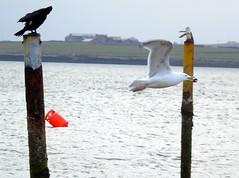 Seagull (stuartcroy) Tags: orkney island sealife seagull scotland sea sky sony cormorant