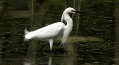 Snowy Egret (Black Hound) Tags: sony minolta bombayhooknwr snowyegret a500