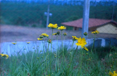 For real humans? (a.ninguem) Tags: flower pentax k1000 film kodak color analogic analógico filme morungaba