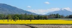 Campagne genevoise (joménager) Tags: colza nikonp330 paysage suisse nikonpassion thononlesbains hautesavoie france ch
