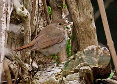 Thrush Nightingale (djcarr007) Tags: thrush nightingale