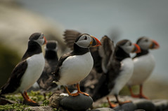 The flock (roberto_blank) Tags: greatbritain bird nature birds island vakantie nikon britain wildlife flock north inner northsea puffin nikkor holliday puffins farne farneislands seabird seahouses 2013 innerfarne 300mmf28vr seasbird