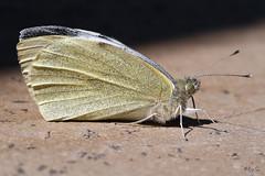 Large white (roychurchill) Tags: white macro canon butterfly canonmacrolens roychurchill largewihit