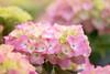 Hydrangea season (tanakawho) Tags: pink plant flower green nature dof bokeh hydrangea rainyseason tanakawho weekendshowcase