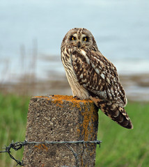 Who are you looking at (mildoo) Tags: orkney shortearedowl cattyface elementsorganizer