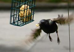 A bird on the wing (MacGuffin56) Tags: bird wings flight blackbird avian raleighnc blinkagain