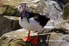IMG_Puffin (Olive Taylor. Thank you for your visit.) Tags: sea birds canon rocks wildlife northumberland puffin seabirds northeastengland farnislands