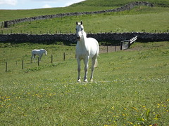 Did I Hear Apple. (Ishbelle 31) Tags: blue two sky horses green field grass wall daisies fence wire gate stones posts dyke buttercups drystane