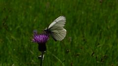Baumweißling (Aah-Yeah) Tags: white black bayern schmetterling achental veined chiemgau aporia crataegi tagfalter marquartstein baumweisling