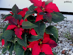 A Poinsettia Native to Mexico and Central America. It is particularly well known for its red and green foliage (pat.bluey) Tags: flowers red poinsettia australia newsouthwales 1001nights warilla spiritofphotography paololivornosfriends 1001nightsmagiccity hennysgardens sunrays5