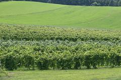 Many Varieties (eyriel) Tags: green nature field landscape vineyard vines wine vine winery grapes abundance grape