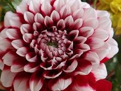 Dahlie (Gartenzauber) Tags: floralfantasy perfectpetals saariysqualitypictures unforgettableflowers fleursetpaysages odetojoyodeàalegria bat´slair