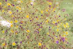 Flores silvestres (Jabi Artaraz) Tags: zb loreak floressilvestres euskoflickr superaplus aplusphoto jartaraz basaloreak