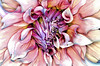 Dahlia Diving (Wes Iversen) Tags: flowers nature blossoms dahlias hcs tokina100mmf28atxprod friendshipparkconservatory clichésaturday