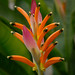 "Heliconia sassy • <a style=""font-size:0.8em;"" href=""http://www.flickr.com/photos/101688182@N03/9833468863/"" target=""_blank"">View on Flickr</a>"