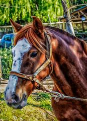 Una de caballos .... marchando (pacoco71) Tags: chile horse caballo cheval