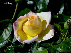 A lovely opening Rose Bud (pat.bluey) Tags: flowers yellow australia rosebud newsouthwales 1001nights mygarden flickraward 1001nightsmagiccity