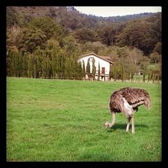 Te vas de paseo por #oiartzun, en #gipuzkoa y te encuentras con un #avestruz. #magia y #naturaleza. (Ruth Acosta Fotografia) Tags: naturaleza square squareformat avestruz hefe gipuzkoa oiartzun iphoneography instagramapp