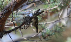 Goldcrest. (northernkite) Tags: tree bird pine smallest caledonian goldcrest europes