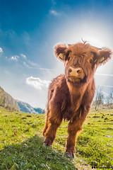Look (daniturnek) Tags: canon eos cow cattle highland slovenia slovenija calf 500d scottsih
