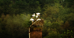 IMG_2703 stork family (pinktigger) Tags: chimney italy bird nature italia nest stork cegonha cigüeña friuli storch cigogne ooievaar fagagna cicogna oasideiquadris flickrdiamond feagne