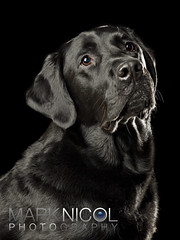 Nelson 2 (Mark Nicol Photography) Tags: portrait dog black studio labrador sad mourning mournful