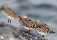 Three  Birds on the Rocks (rivadock4) Tags: ocean new winter cold newjersey windy atlantic jersey inlet barnegat atlanticocean barnegatinlet dunlins vision:mountain=0722 vision:sky=0524 vision:outdoor=0781