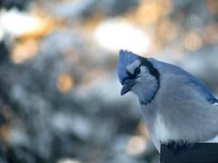 Geai bleu ..Entre-Lacs...16 Dc 2013 148 (Diane.D.G.) Tags: birds bluejay oiseaux coth youlookinatme supershot specanimal fantasticnature geaibleu avianexcellence photossansfrontires damniwishidtakenthat damnfinepicture onceinyourlife alittlebeauty newenvyofflickr lapetitegalerie bestofdamn faunaandfloragroup coth5 ayezloeil hganimals hgspectacularbirds hennysanimals treasuresofkeepyoureyesopen damnoutstandingpictures10awards confidentialisthebest dmslair eblouissantenature thesunshinegroup sunrays5