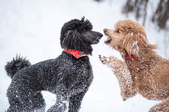 Back Off! (Perry McKenna) Tags: red snow playing black dogs eli poodle cooper hadenough standardpoodle spoos