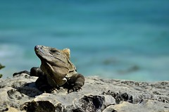 _DSC0419 (Sebastian Matamoros) Tags: world ocean travel blue sea art beach nature photography 50mm nikon sebastian natural stock free tulum iguana buy unam cancun around nava matamoros enap d5100