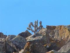 Oleanderblättrige Kleinie im Brachland westlich FV-1, Corralejo, NGIDn1596960377 (naturgucker.de) Tags: kleinianeriifolia naturguckerde cwolfgangkatz 1038097865 1062798284 1274109814 oleanderblättrigekleinie ngidn1596960377