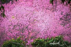 Wild Himalayan cherry tree (mdoooth) Tags: pink wild tree cherry blossom chiangmai himalayan khunchangkian