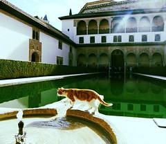 (Alberto Lara Muse) Tags: animal cat alhambra granada