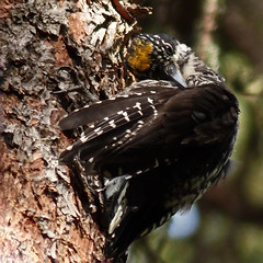 American Three-toed Woodpecker (annkelliott) Tags: canada tree bird nature birds woodpecker preening alberta ornithology avian americanthreetoedwoodpecker swofcalgary brownloweryprovincialpark