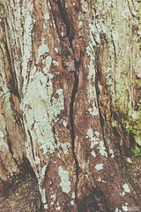 Lichen Growing on a Cracked Tree (Anna Dashkova) Tags: trees wild tree green nature photography moss roots artsy fungus lichen biology banannadashtv