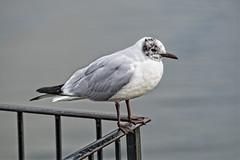 Waiting for Godot (MrBlueSky*) Tags: seagull bird waterfoul animal wildlife nature outdoor kewgardens royalbotanicgardens london ngc pentax pentaxart pentaxk1 pentaxlife pentaxawards pentaxflickraward water